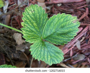 Closeup of the foliage from a Strawberry plant