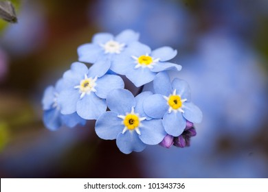 close-up forget me not