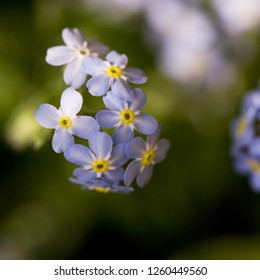 A closeup of  forget-me-not blue flowers in sunny day