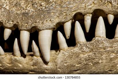 Closeup of a fossil of a crocodile skull