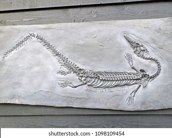 closeup of a fossilized petrified Steneosaurus dinosaur fossil remains in stone with details of the skeleton with skull and bones