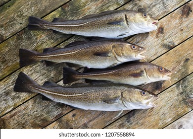 Closeup of four freshly caught atlantic cods on wooden planks