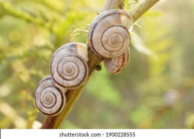 Close-up of four grove snails