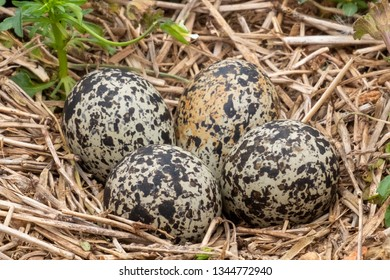 Closeup of four killdeer eggs lay in a ground nest just before sping begins in Raleigh North Carolina.