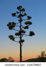Closeup of four meter tall agave flower in Andalusian countryside