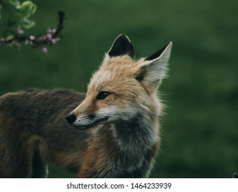 Closeup of Fox With Blur Background