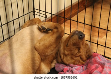 Closeup of fox red Labrador retriever puppy inside wire crate sleeping on his back with shallow depth of field