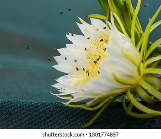 Closeup of Fragrant white flowers of dragon fruit pollinated by Australian bees