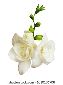 Closeup of freesia flowers and buds isolated on white background. Top view.