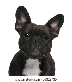 Close-up of French Bulldog, 18 months old, in front of white background