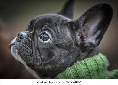 Closeup of a french bulldog with green winter clothes on in green knitted handmade material. Sweden