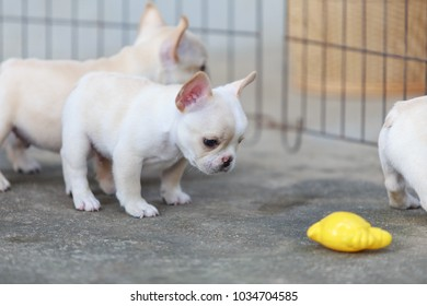 Close-up, French bulldog puppy resting on floor.