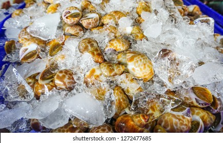 Closeup fresh areola babylon or spotted babylon on ice at fresh market, delicious seafood for cooking meal or dinner or appetizer,babylonia,areolata