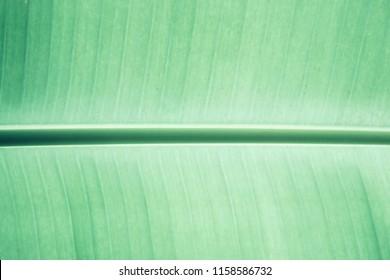 close-up, Fresh Banane palm leaf, green nature trexture background
