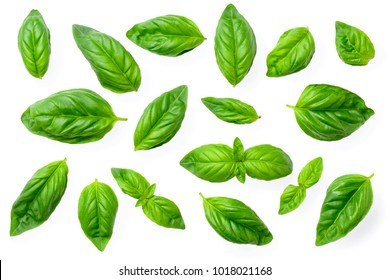 closeup of fresh basil isolated on white