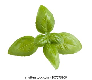 Closeup of fresh basil sprig isolated on a white background.