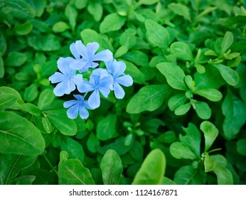 Close-up Fresh Blue Flowers on Green Leaves Background