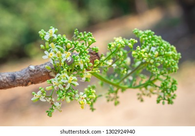 Closeup fresh green beautiful herb flower buds of Neem, Neem tree, Nim, Margosa, Quinine, Holy tree, Indian margosa tree, Pride of china, Siamese neem tree (Azadirachta Indica A.Juss.)
