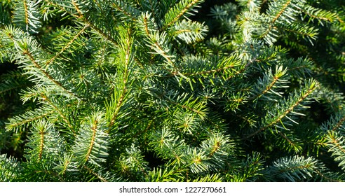 Close-up of fresh green Christmas tree.