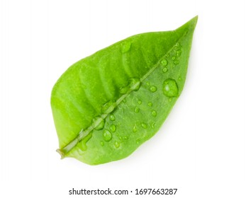 Closeup of fresh green leaf with water droplets on white background. Isolated and clipping path photo.