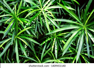 Closeup fresh green leaves of Cascabela thevetia, White oleander, Lucky nut, Lucky Bean, Trumpet Flower (Thevetia Peruviana (Pers.) K.Schum) on tree in the tropical garden