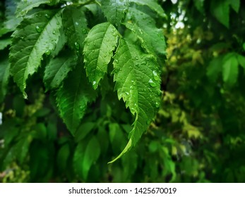 Close-up Fresh Green Leaves on Tree with Rain Droplets with Selective Focus
