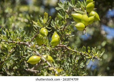 Closeup of fresh green olive nuts growing in an olive tree in Morocco in the spring.