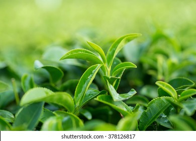 closeup fresh green tea leaves.