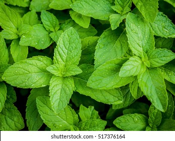 Closeup fresh growing peppermint leaves at vegetable garden with water drop . Green leaves and natural background .  Peppermint with selective focus shallow depth of field .