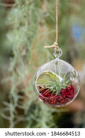 Closeup of fresh growing tillandsia air plant with red petals and soil inside a glass bubble