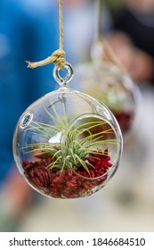 Closeup of fresh growing tillandsia plant with red soil petals inside a transparent circular glass bubble