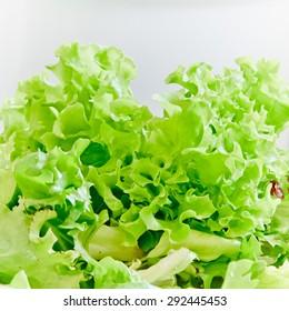 Closeup of fresh lettuce