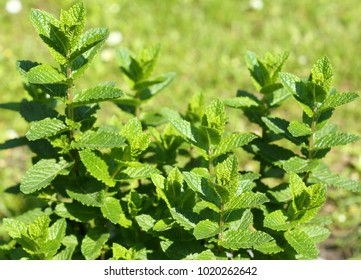 Closeup of fresh mints leaves texture . Aromatic african mint.
