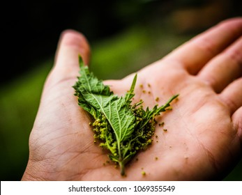 closeup of fresh nettles in a hand as alternative medicine
