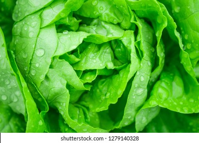 Closeup Fresh organic green leaves lettuce salad plant in hydroponics vegetables farm system