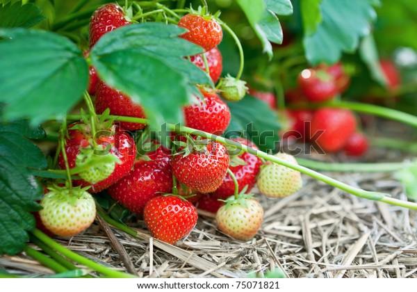 Nahaufnahme frischer organischer Erdbeeren, die auf den Rebstöcken wachsen