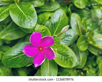 Close-up Fresh Pink Periwinkle Flower on Green Leaves Background