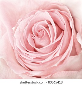 close-up of fresh pink rose flower