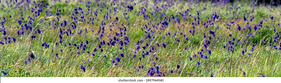 Close-up of fresh purple flowers of Salvia nutans in steppe