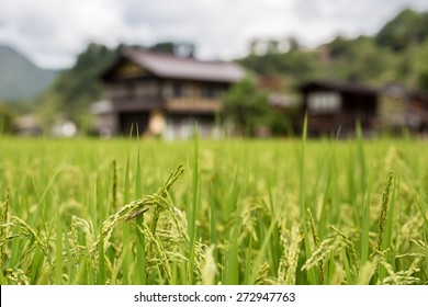 Closeup of fresh ripe asian rice at big rice fields in Shirakawa-go traditional village in Japan