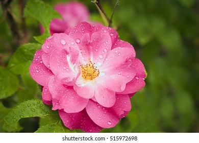 Close-up of fresh rose after the rain