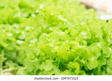 Closeup fresh salad or lettuce vegetable hydroponic in field, healthy eathing concept, selective focus