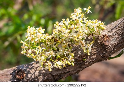 Closeup fresh white beautiful herb flowers of Neem, Neem tree, Nim, Margosa, Quinine, Holy tree, Indian margosa tree, Pride of china, Siamese neem tree (Azadirachta Indica A.Juss.)