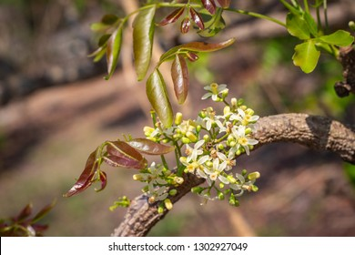 Closeup fresh white herb flowers and baby leaves of Neem, Neem tree, Nim, Margosa, Quinine, Holy tree, Indian margosa tree, Pride of china, Siamese neem tree (Azadirachta Indica A.Juss.)