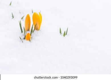 Closeup of freshly growing yellow crocus buds poking through the snow outdoors in spring.