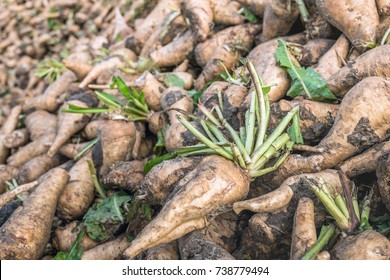 Closeup of freshly harvested chicory roots dumped in a pile and waiting for transport to the inulin factory.