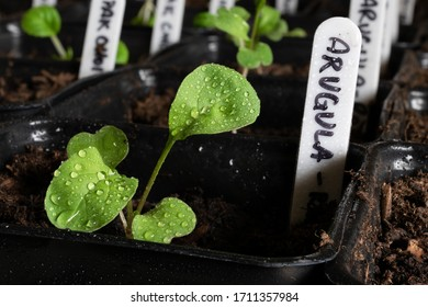 Closeup of a freshly watered young arugula sprout growing in a planter with label and potting soil surrounded by other plants