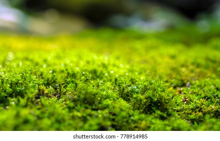Close-up of freshness green moss growing covered on stone floor with water drops in the sunlight, selective focus