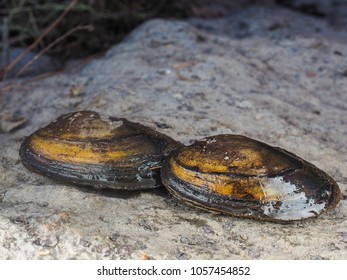 Closeup of freshwater swan mussel on dry land