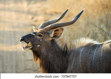 Closeup of friendly male Nyala chewing a bone in Africa